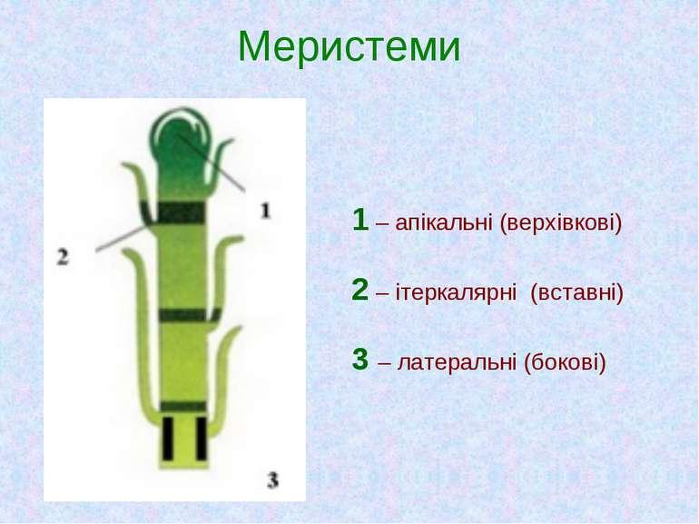 Меристеми 1 – апікальні (верхівкові) 2 – ітеркалярні (вставні) 3 – латеральн...
