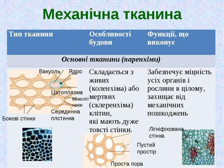 Механічна тканина Бокові стінки Вакуоль Ядро Цитоплазма Серединна плстинка Мі...