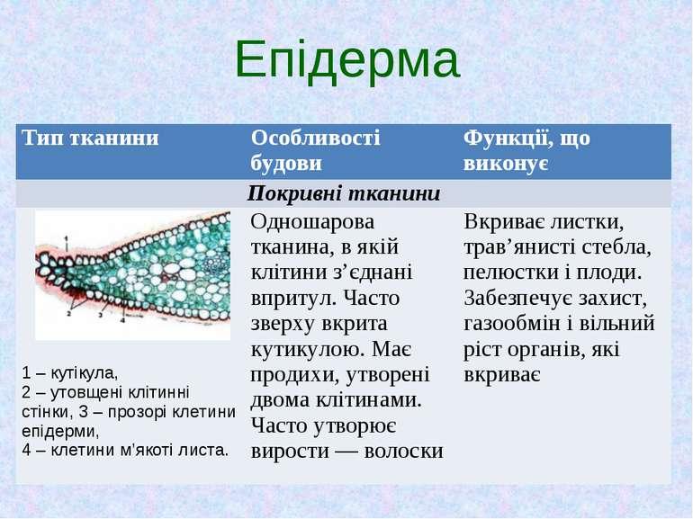 Епідерма Тип тканини Особливості будови Функції, що виконує Покривні тканини ...