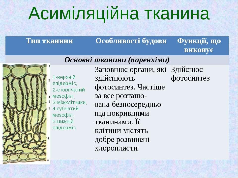 Асиміляційна тканина 1-верхній епідерміс, 2-стовпчатий мезофіл, 3-міжклітники...