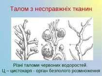 Талом з несправжніх тканин Різні таломи червоних водоростей. Ц – цистокарп - ...