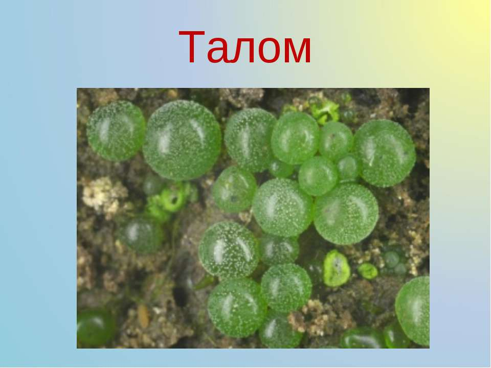 Талом