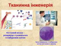 Тканинна інженерія Кістковий мозок – резервуар стромальних стовбурових клітин...
