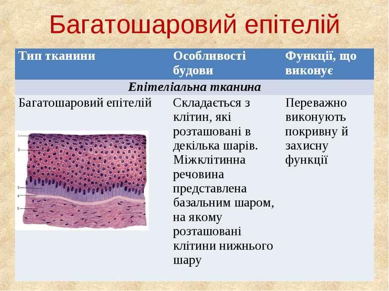 Багатошаровий епітелій Тип тканини Особливості будови Функції, що виконує Епі...