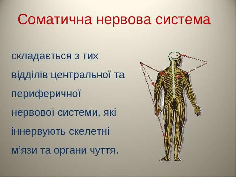 Соматична нервова система складається з тих відділів центральної та периферич...