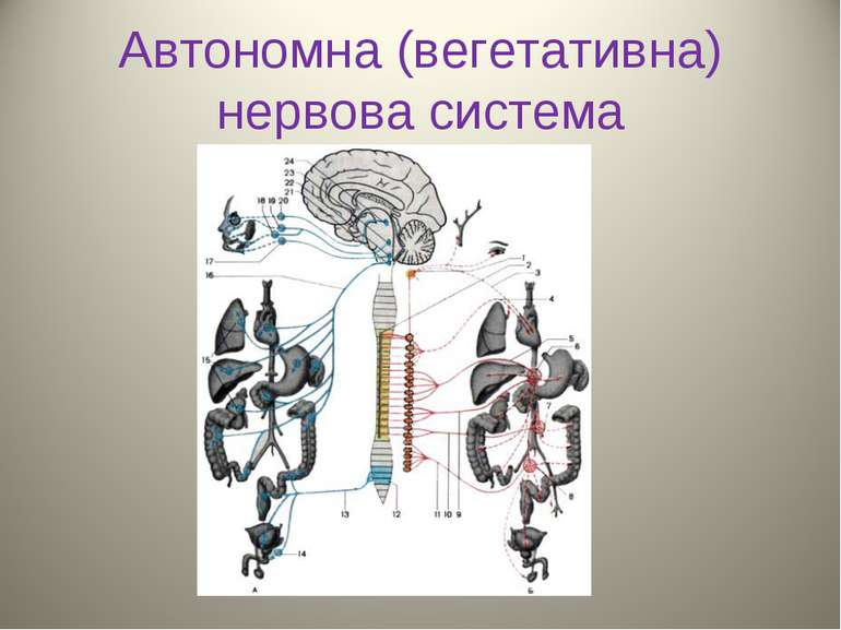 Автономна (вегетативна) нервова система