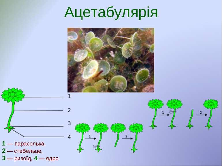 Ацетабулярія 1— парасолька, 2— стебельце, 3— ризоїд, 4—ядро