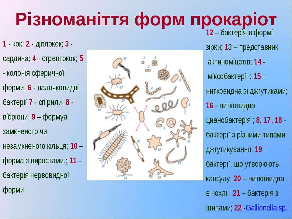 Різноманіття форм прокаріот 12 – бактерія в формі зірки; 13 – представник ак...