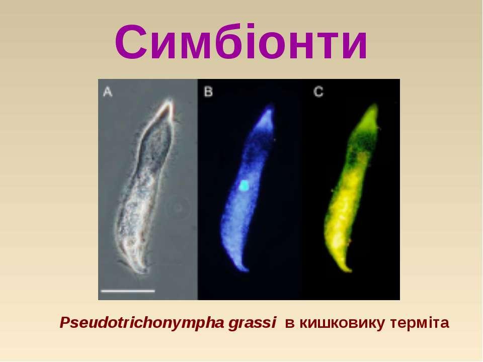 Симбіонти Pseudotrichonympha grassi в кишковику терміта