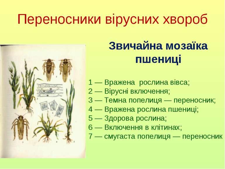 Переносники вірусних хвороб Звичайна мозаїка пшениці 1 — Вражена рослина вівс...