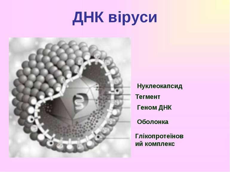 ДНК віруси Нуклеокапсид Тегмент Геном ДНК Оболонка Глікопротеїновий комплекс