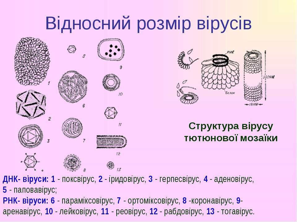 Відносний розмір вірусів ДНК- віруси: 1- поксвірус,2- іридовірус,3- герп...