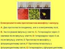 Електрозлиття між протопластом мезофілу і каллусу. А. Два протопласти поодино...