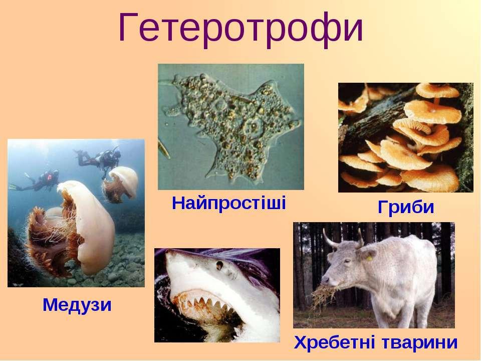 Гетеротрофи Найпростіші Гриби Медузи Хребетні тварини