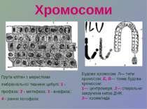 Хромосоми Група клітин з меристеми ембріональної тканини цибулі: 1 - профаза;...