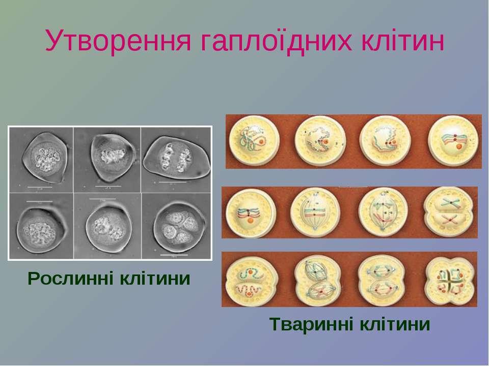 Утворення гаплоїдних клітин Рослинні клітини Тваринні клітини