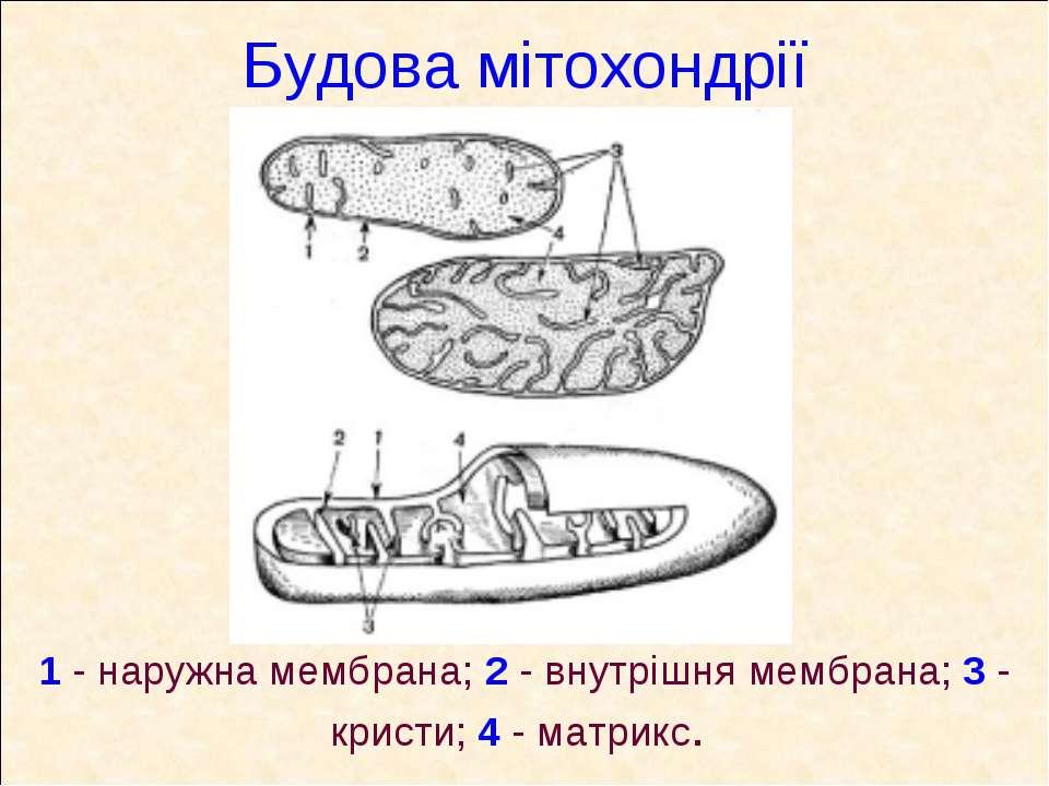 Будова мітохондрії 1 - наружна мембрана; 2 - внутрішня мембрана; 3 - кристи; ...