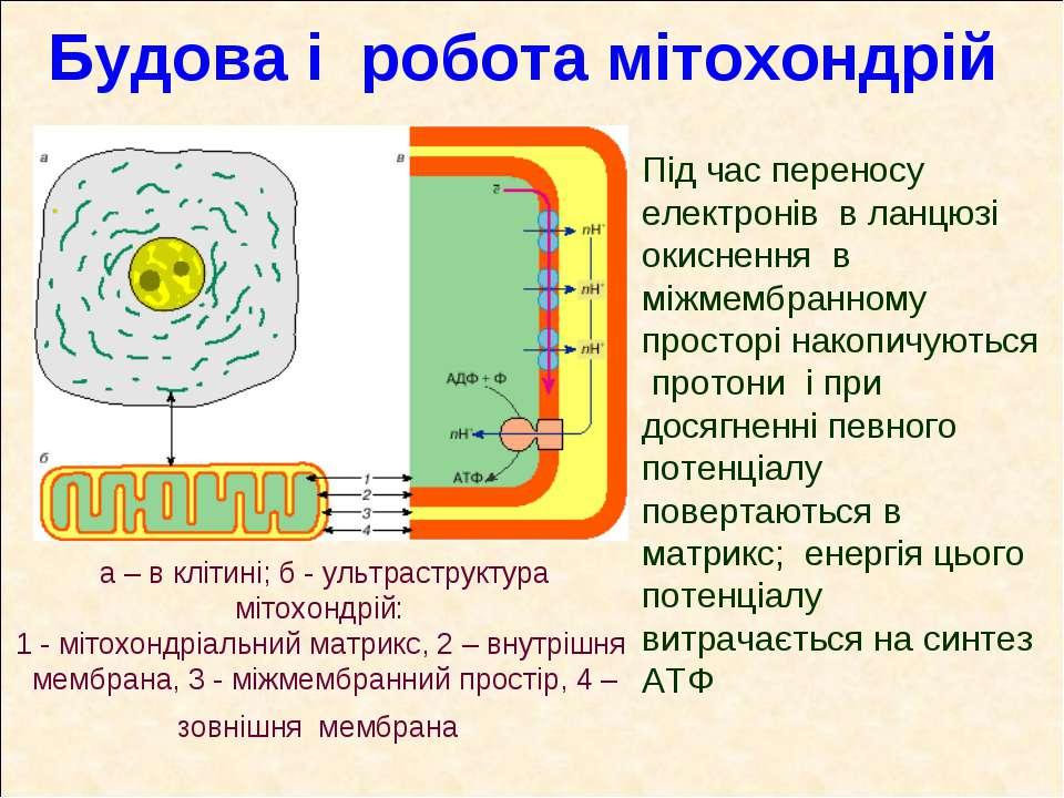 Будова і робота мітохондрій а – в клітині; б - ультраструктура мітохондрій: 1...