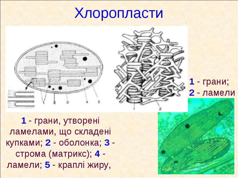 Хлоропласти 1 - грани, утворені ламелами, що складені купками; 2 - оболонка; ...