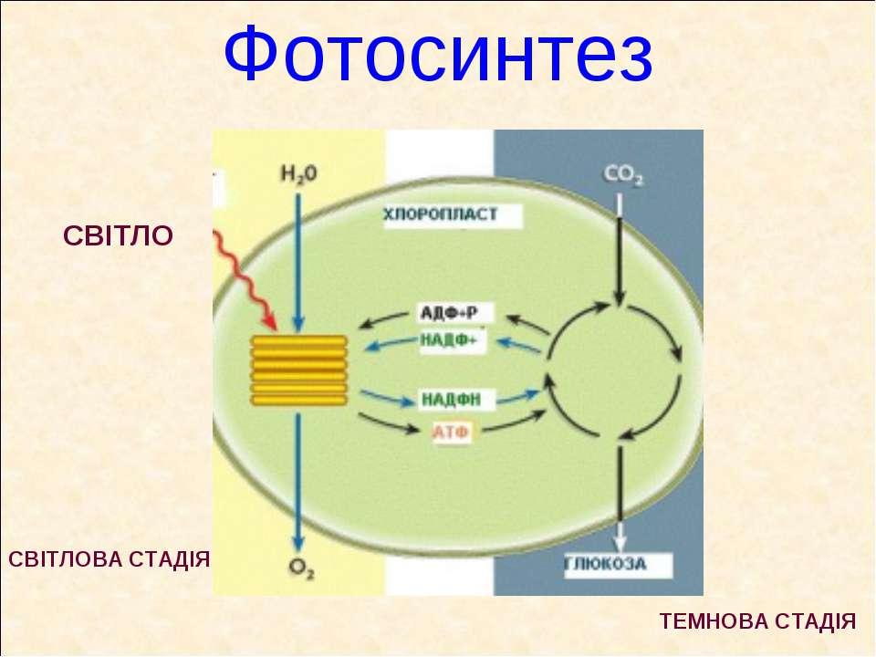 Фотосинтез СВІТЛО СВІТЛОВА СТАДІЯ ТЕМНОВА СТАДІЯ