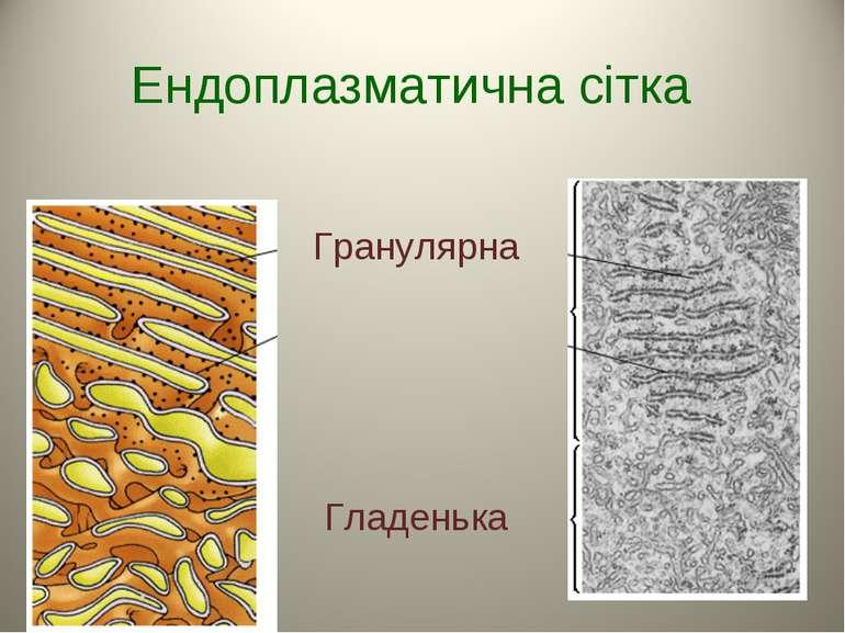 Ендоплазматична сітка Гранулярна Гладенька