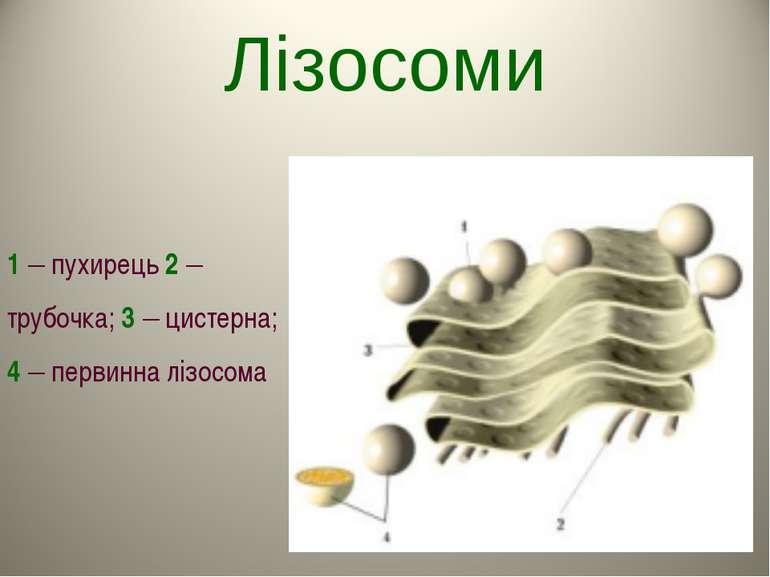 Лізосоми 1 – пухирець 2 – трубочка; 3 – цистерна; 4 – первинна лізосома