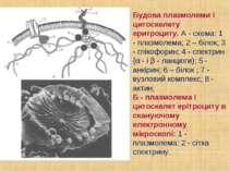 Будова плазмолеми і цитоскелету еритроциту. А - схема: 1 - плазмолема; 2 – бі...