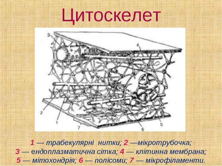 Цитоскелет 1 — трабекулярні нитки; 2 —мікротрубочка; 3—ендоплазматична сітк...