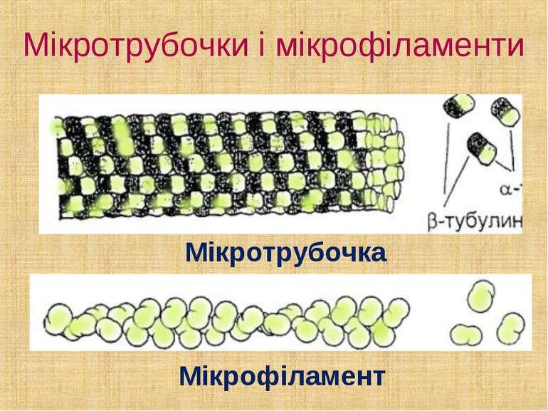 Мікротрубочки і мікрофіламенти Мікротрубочка Мікрофіламент