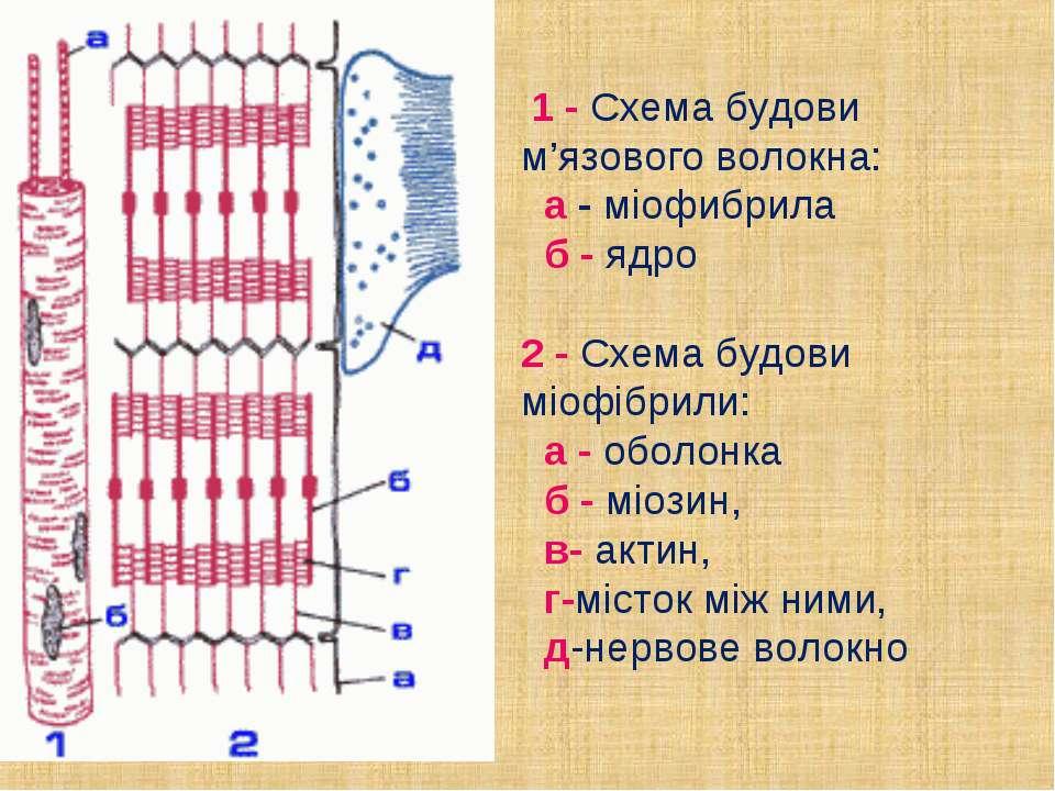 1 - Схема будови м'язового волокна: а -міофибрила б -ядро 2 -Схема бу...