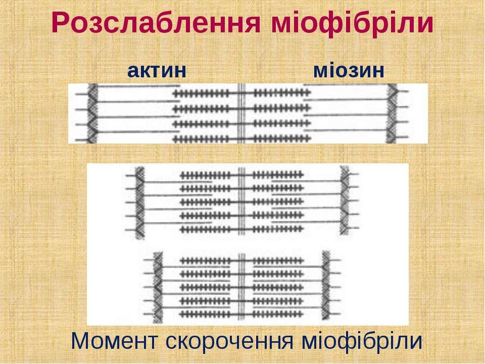 Розслаблення міофібріли актин міозин Момент скорочення міофібріли
