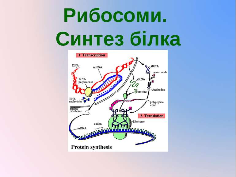 Рибосоми. Синтез білка
