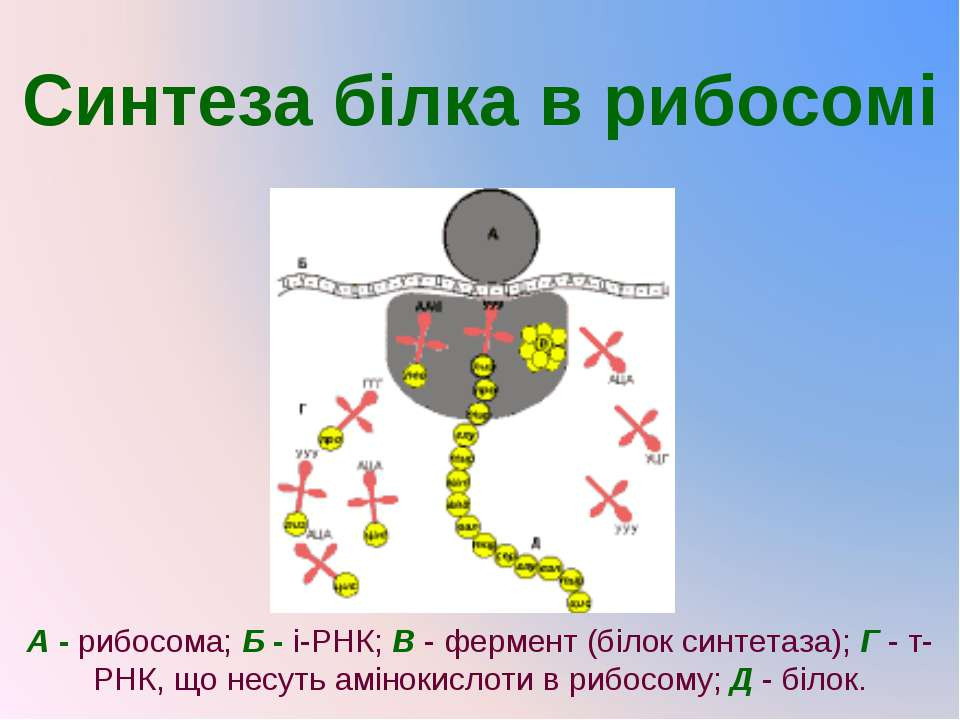 Синтеза білка в рибосомі А- рибосома;Б- і-РНК;В- фермент (білок синтетаз...