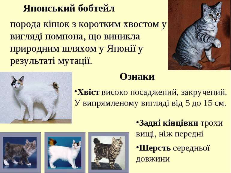 порода кішок з коротким хвостом у вигляді помпона, що виникла природним шляхо...