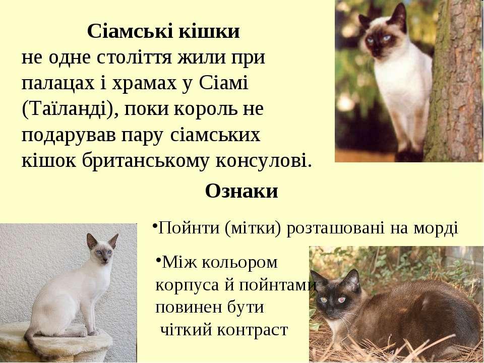 Сіамські кішки не одне століття жили при палацах і храмах у Сіамі (Таїланді),...