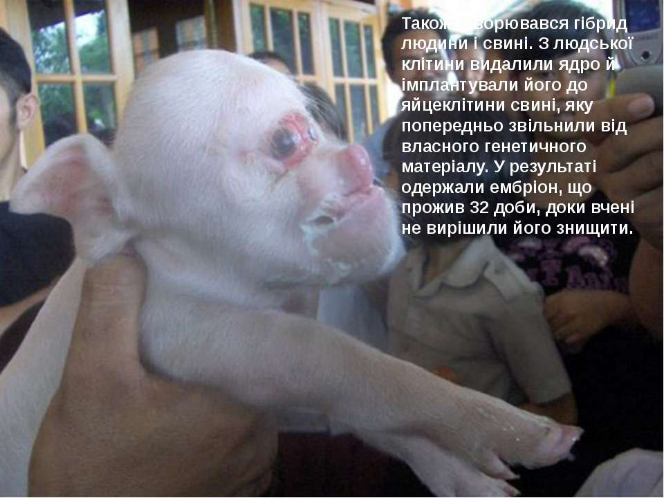 Також створювався гібрид людини і свині. З людської клітини видалили ядро й і...