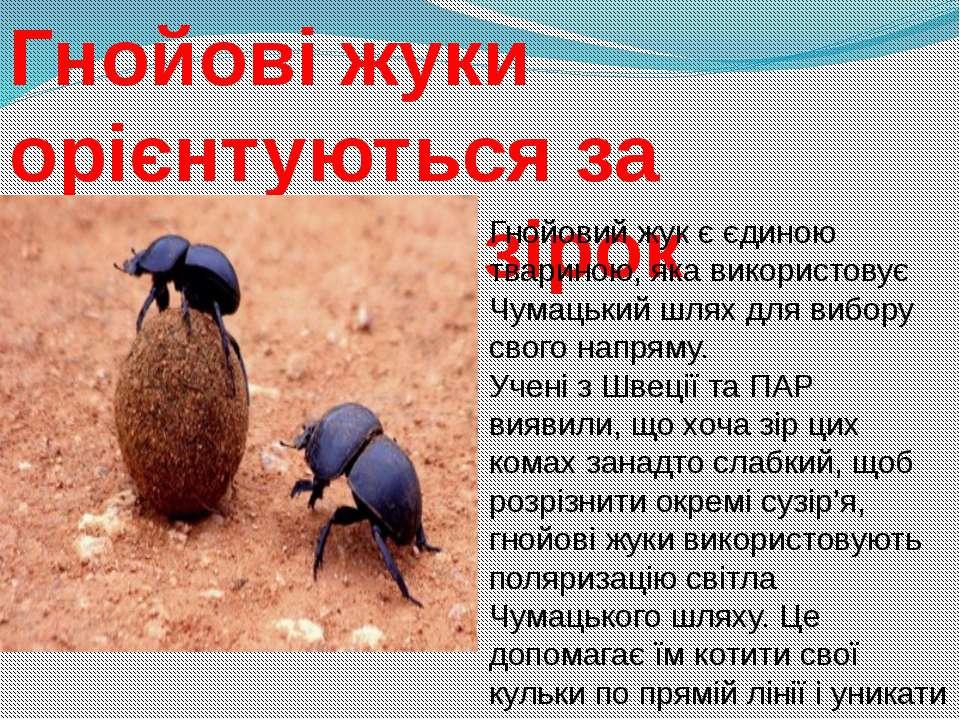Гнойові жуки орієнтуються за допомогою зірок Гнойовий жук є єдиною твариною, ...