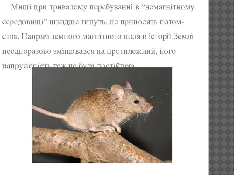 """Миші при тривалому перебуванні в """"немагнітному середовищі"""" швидше гинуть, не ..."""