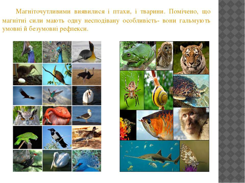 Магніточутливими виявилися і птахи, і тварини. Помічено, що магнітні сили маю...