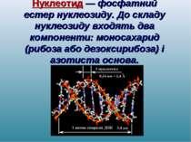 Нуклеотид — фосфатний естер нуклеозиду. До складу нуклеозиду входять два комп...