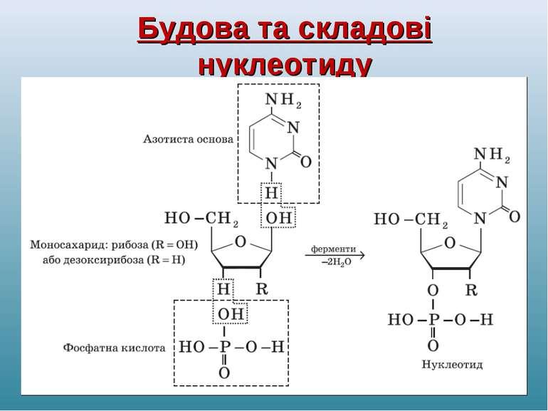 Будова та складові нуклеотиду