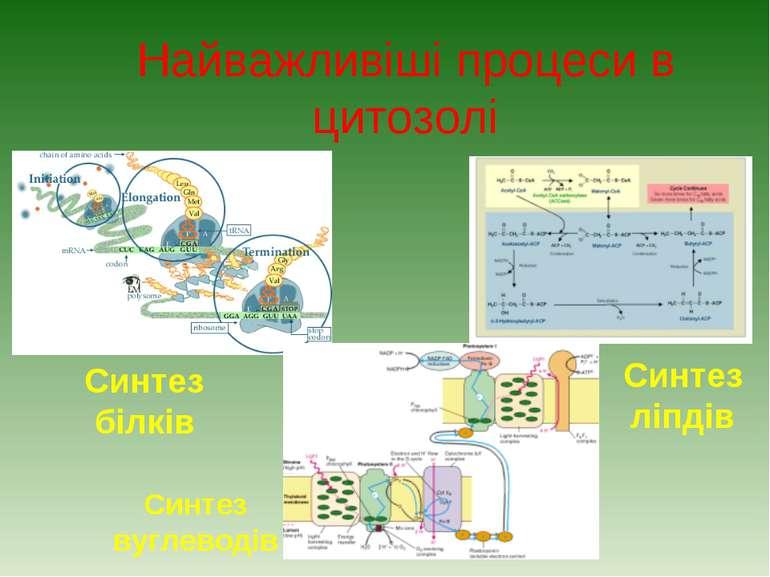 Найважливіші процеси в цитозолі Синтез ліпдів Синтез білків Синтез вуглеводів