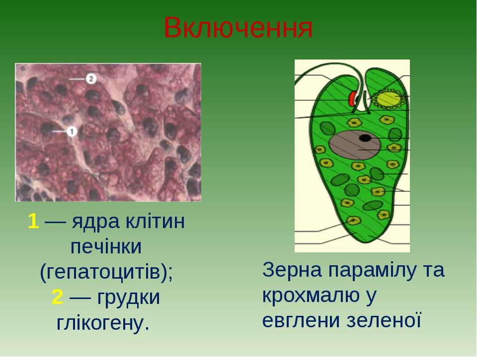 Включення 1 — ядра клітин печінки (гепатоцитів); 2 — грудки глікогену. Зерна ...