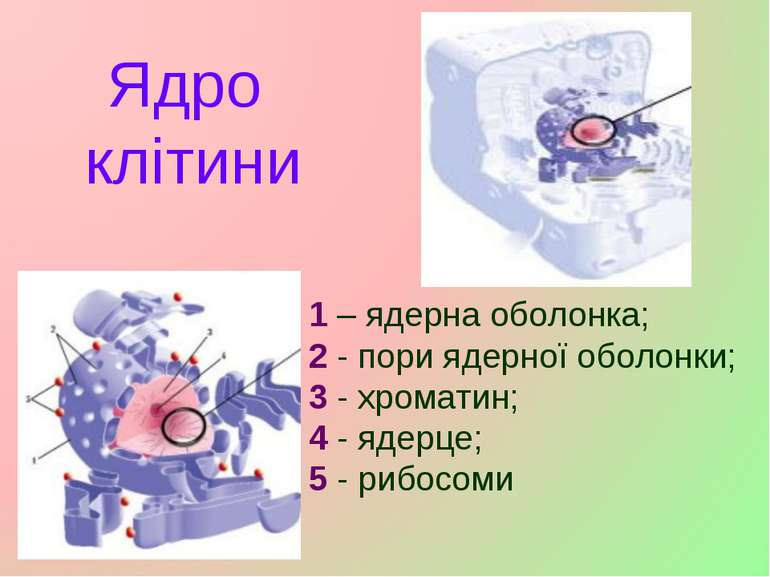 Ядро клітини 1 – ядерна оболонка; 2 - пори ядерної оболонки; 3 -хроматин; 4 ...