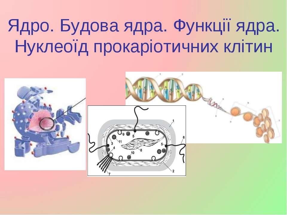 Ядро. Будова ядра. Функції ядра. Нуклеоїд прокаріотичних клітин