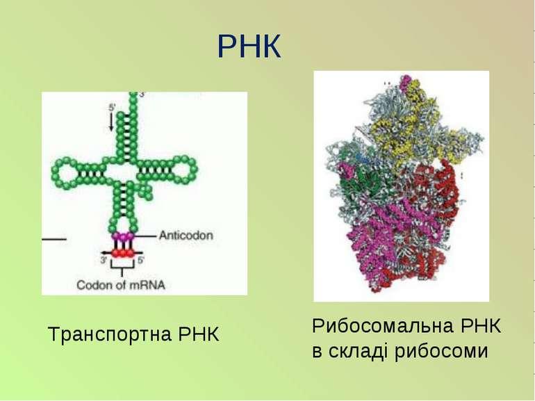 РНК Транспортна РНК Рибосомальна РНК в складі рибосоми