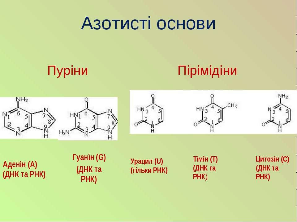 Азотисті основи Гуанін (G) (ДНК та РНК) Пуріни Аденін (А) (ДНК та РНК) Пірімі...