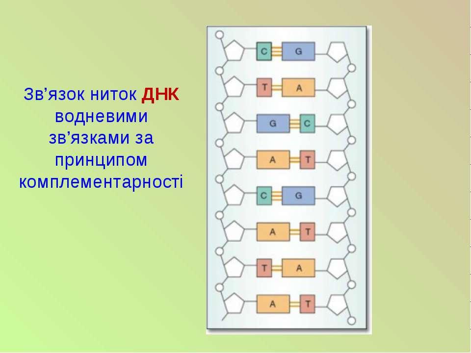 Зв'язок ниток ДНК водневими зв'язками за принципом комплементарності