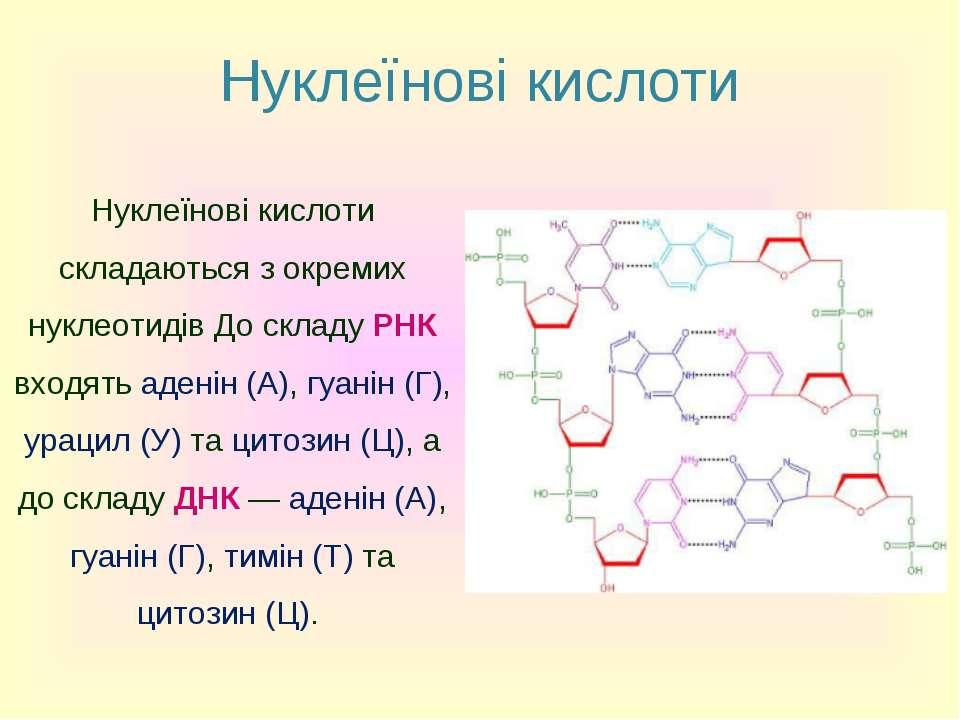 Нуклеїнові кислоти Нуклеїнові кислоти складаються з окремих нуклеотидів До ск...