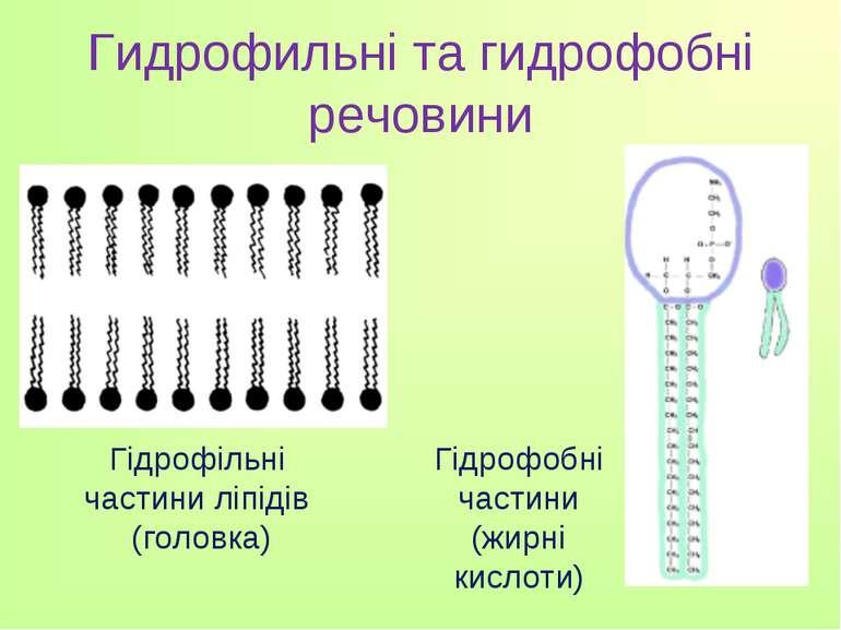 Гидрофильні та гидрофобні речовини Гідрофільні частини ліпідів (головка) Гідр...